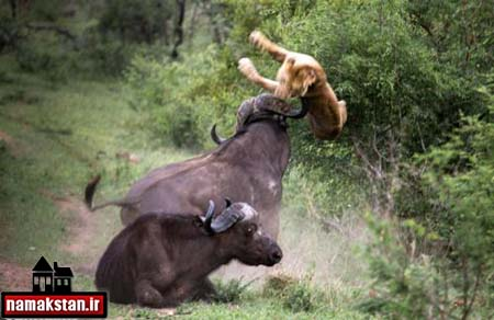 جنگ گاو وشیر*عکس 1